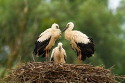 Three white stork, ciconia ciconia, chicks standing on nest and waiting in summer nature. Young wild birds with long legs and beaks resting together with blurred green background.