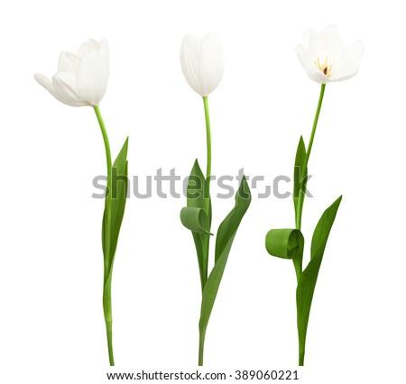 Three white tulip isolated on the white background Stock photo ©