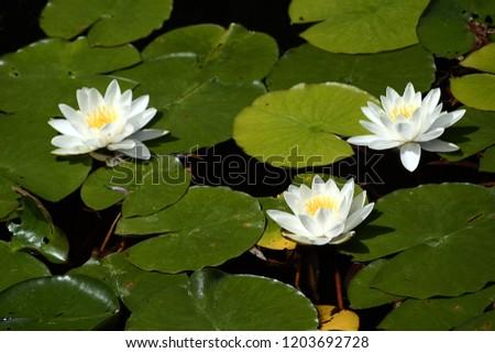 Three White waterlillies