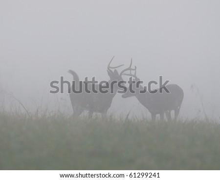 Three whitetail deer bucks standing on hillside in heavy morning fog