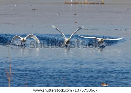 Three Whooper Swans taking off, Welney Wetland Centre, Norfolk, England, UK.