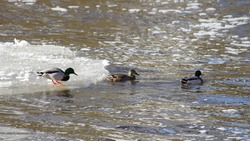 Three wild ducks on the ice water on a freezing river, migratory birds wintering on ice floe