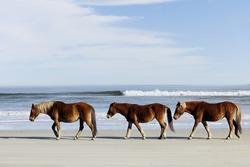 Three wild horses walking along the beach in Corolla, NC.