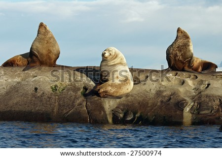 Three wild male Steller Sea Lions hauled out on the rocks.   Photographed in the Southern Gulf Islands of British Columbia, Canada.