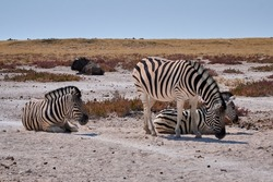 Three wild plains zebras (Equus quagga) at Etosha National park, Namibia. African wildlife in dry landscape.