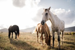 three wild well-groomed horses stand side by side, watching eat grass in the field, white, red and brown. Wild nature, background in the distance high mountains blue and white sky clear