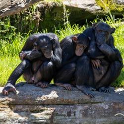 Three wise Chimpanzee Monkeys lazing around on a hot day 3 wise monkeys chimps
