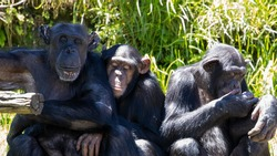Three wise Monkeys chimpanzee lazing around on a hot day 3 wise monkeys chimps