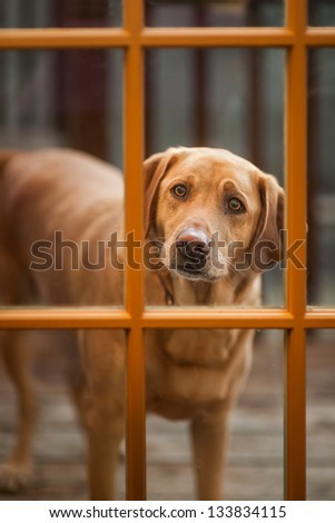 Three year old yellow labrador retriever looking in through a glass window pane - stock photo