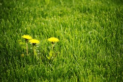 Three yellow blooming dandelions in a green lawn