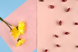 Three yellow chrysanthemum flowers and some small dried rosebuds against pink and blue background. Nature, floral concept. Close up, copy space