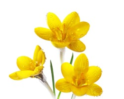 Three yellow crocus flowers with rain drops isolated on white