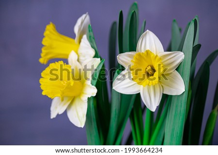 Three yellow daffodils shot with a macro lens