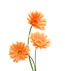 Three yellow Gerber flowers, daisies isolated on white