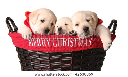 Three yellow lab puppies in a Merry Christmas basket.