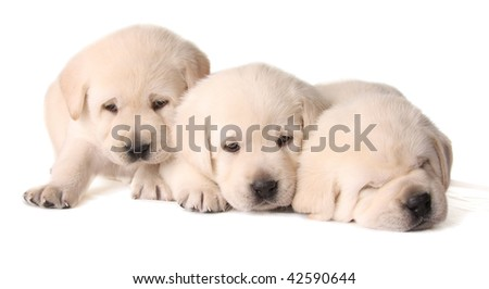 Three yellow lab puppies, three weeks old.