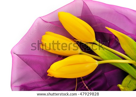 three yellow tulips on purple isolated on white background