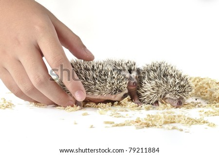 three young hedgehog