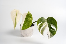 three young leaves of variegated monstera alba in a pot on a white background