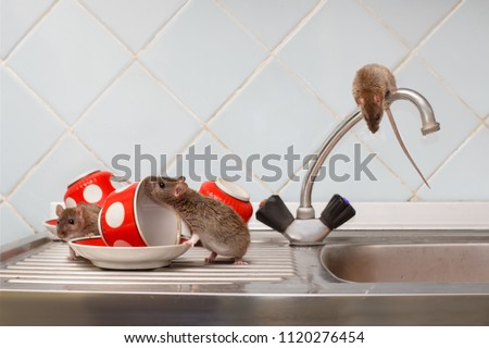Three young rats (Rattus norvegicus) and red cups on sink in an apartment house on the background of the water faucet at kitchen. Fight with rodents in the apartment. Extermination.