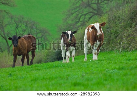 Three young spring born cows looking curiously ahead, on a hill, in a field of lush green fresh grass.