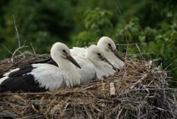 three young storks in the nest against the background of green trees, summer