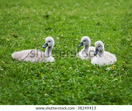 Three young swans on the green grass - stock photo