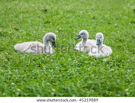 Three young swans on the green grass