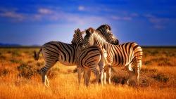 Three Zebras caught showing love