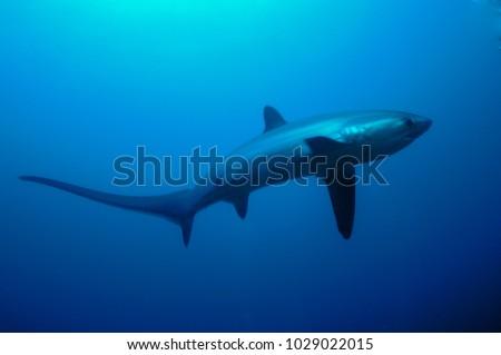 Thresher shark (Alopias vulpinus) swimming in Monad Shoal dive site, Malapascua island, Cebu Philippines