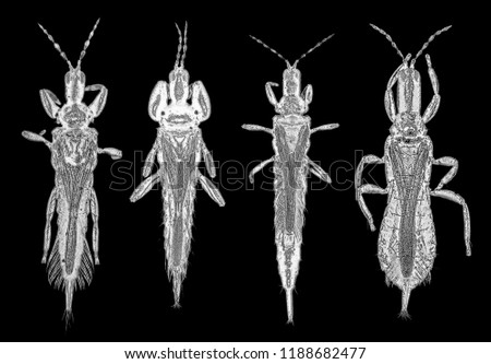 Thrips (order Thysanoptera) are minute, slender insects. Scanning microscope photo.  Isolated on a black background