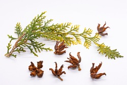 Thuja branch. Thuja seeds. Coniferous tree twig in autumn. White background. Coniferous cones. Close-up. A twig with pine needles aroma. Aroma therapy