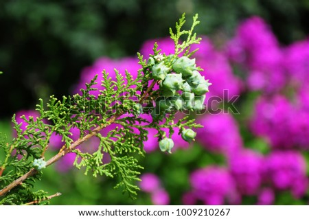 Thuja branchlets with cones on blur background #1009210267