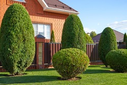 Thuja in the form of an ellipse in the home garden, topiary of conifers
