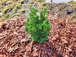 Thuja occidentalis Degroot's Spire, young sapling, under the spring sun, mulching with pine bark