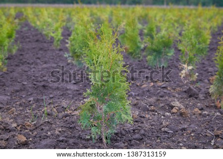 Thuja occidentalis in garden center. Plant nursery. Decorative potted plant at flower shop #1387313159