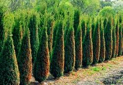 Thuja saplings in Perkalsky Dendrological nursery (foot of Mashuk), Northern Caucasus,Russia.