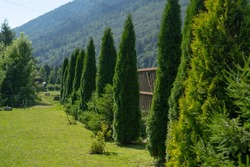 Thuja trees growing next to the fence. Slim and tall Thuja trees. Evergreen trees planted. Thuja trees in the garden