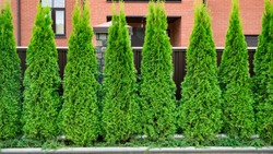 Thuja trees in the city landscape on the background of a modern building.  Row of thuja trees.