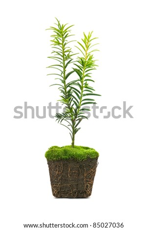 thuja with dirt isolated on white