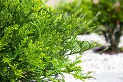thujopsis dolabrata in garden