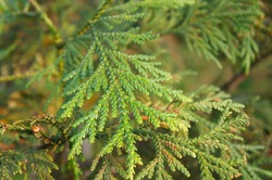 Thujopsis dolabrata nana green plant