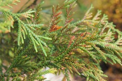 Thujopsis dolabrata nana or false arborvitae cypress branch of green plant background