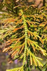 thujopsis dolabrata nana or hiba arborvitae plant