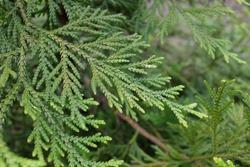 Thujopsis dolabrata SIEB. (Cupressaceae), outdoor plants 2020