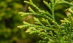 Thujopsis is a genus of conifers in the cypress family, the sole member of which is Thujopsis dolabrata.