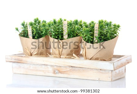 thyme herb plants in pots with beautiful paper decor on wooden stand isolated on white