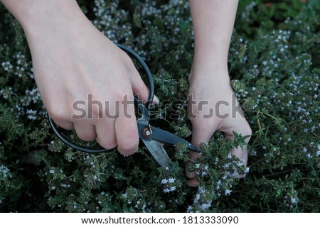 Thyme herb. Spicy herbs in the garden. Growing and cutting thyme.Female hands with black garden shears and thyme herb. Clean eco-friendly farming.Fragrant herbs and spices. bio food