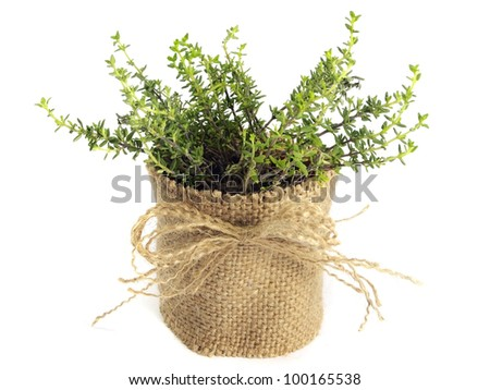 thyme in pot on a white background