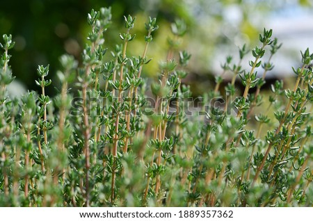 Thyme or Thymus vulgaris - perennial herb with tiny aromatic leaves. Macro image of fresh green thyme growing outdoors in the garden, selective focus. Foto stock ©
